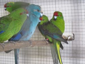 kakariki azul y verde