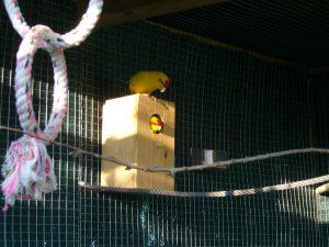 nido de kakariki amarillo