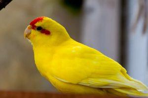 kakariki amarillo