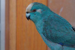 kakariki azul
