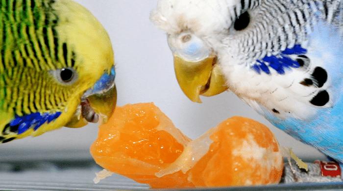 que comen los periquitos