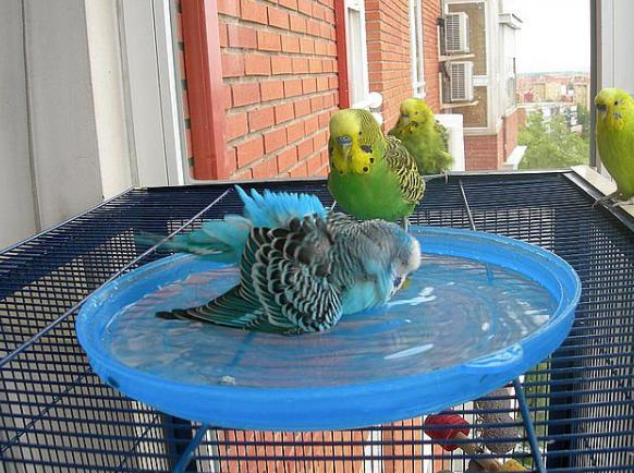 periquitos australianos bañandose