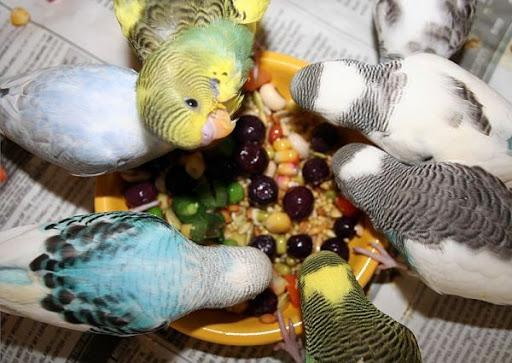 alimentacion para periquitos