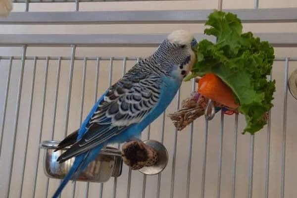 periquito comiendo fruta y verdura